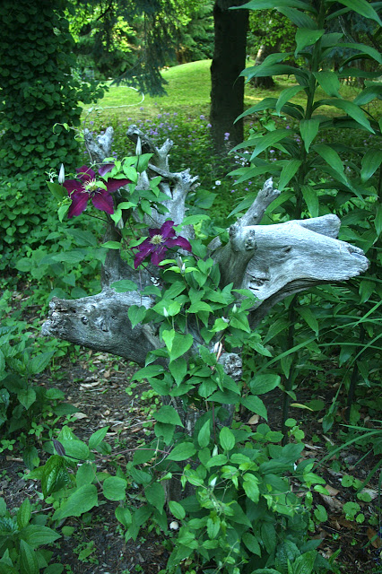 clematis on driftwood