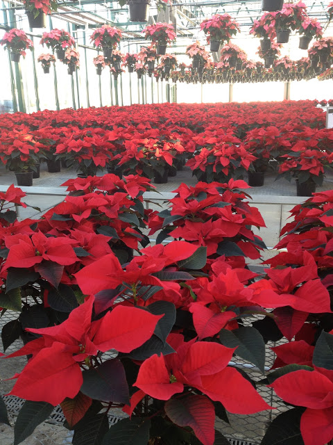 A sea of poinsettias