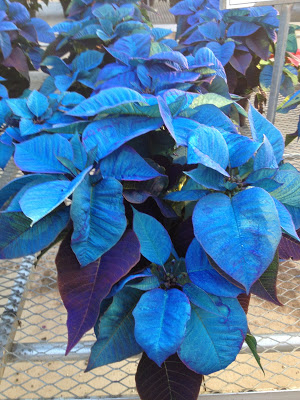 Blue poinsettia -- The Impatient Gardener