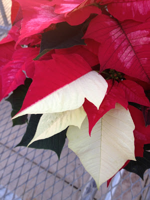 Half red leaf, half white leaf poinsettia -- The Impatient Gardener