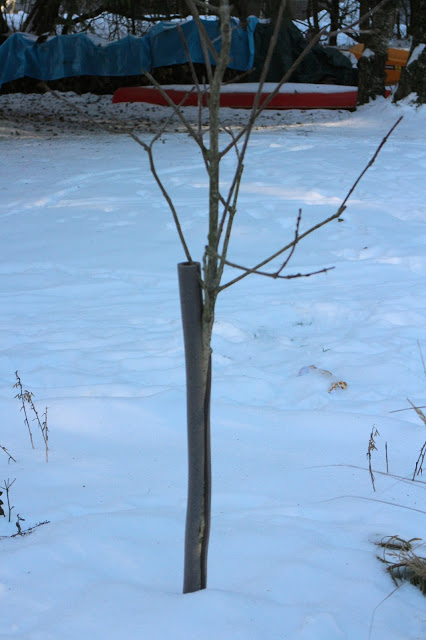 Pipe insulator to protect young trees from rodent damage -- The Impatient Gardener