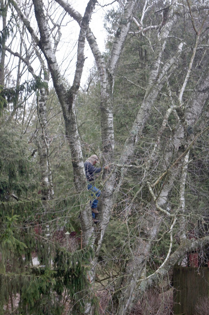 cutting down a birch tree