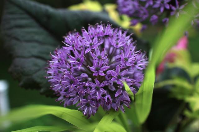 The Impatient Gardener Garden Appreciation Week 5 (Ligularia, Hakonechloa, bleeding heart, allium)