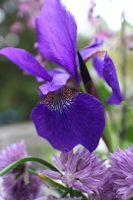 The Garden Appreciation Society -- iris