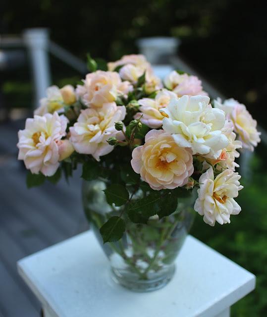 The Impatient Gardener -- The Garden Appreciation Society -- Oso Easy Peachy Cream roses