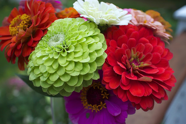 The Impatient Gardener -- The Garden Appreciation Society -- zinnias