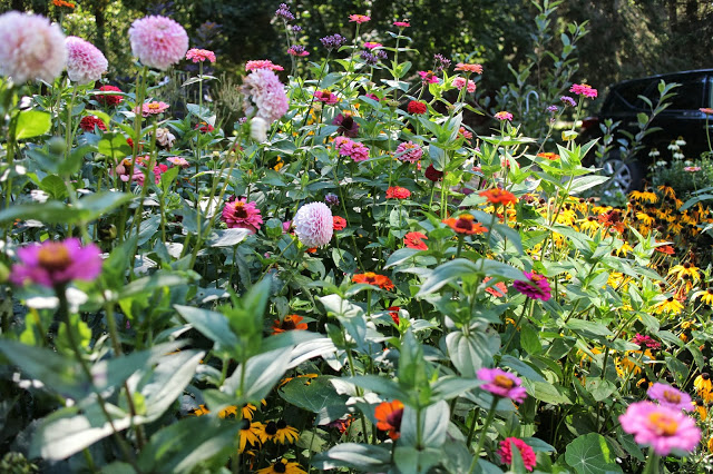 The Impatient Gardener -- a sea of zinnias