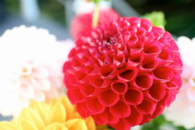 The Garden Appreciation Society-- The Impatient Gardener -- dahlias