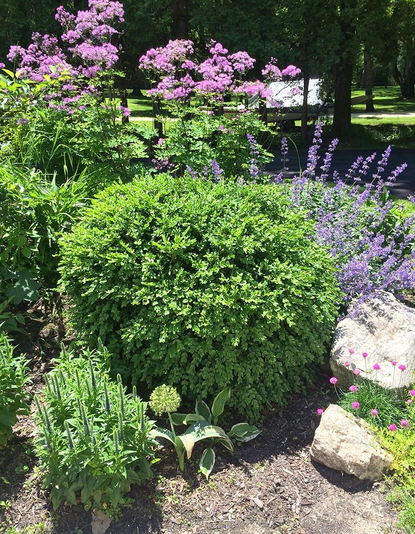 Pruning boxwood: The Impatient Gardener
