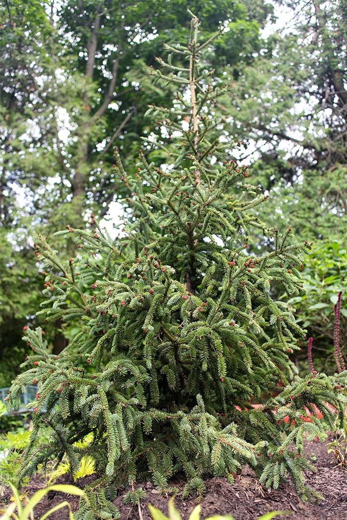 Picea glauca Hudsonii