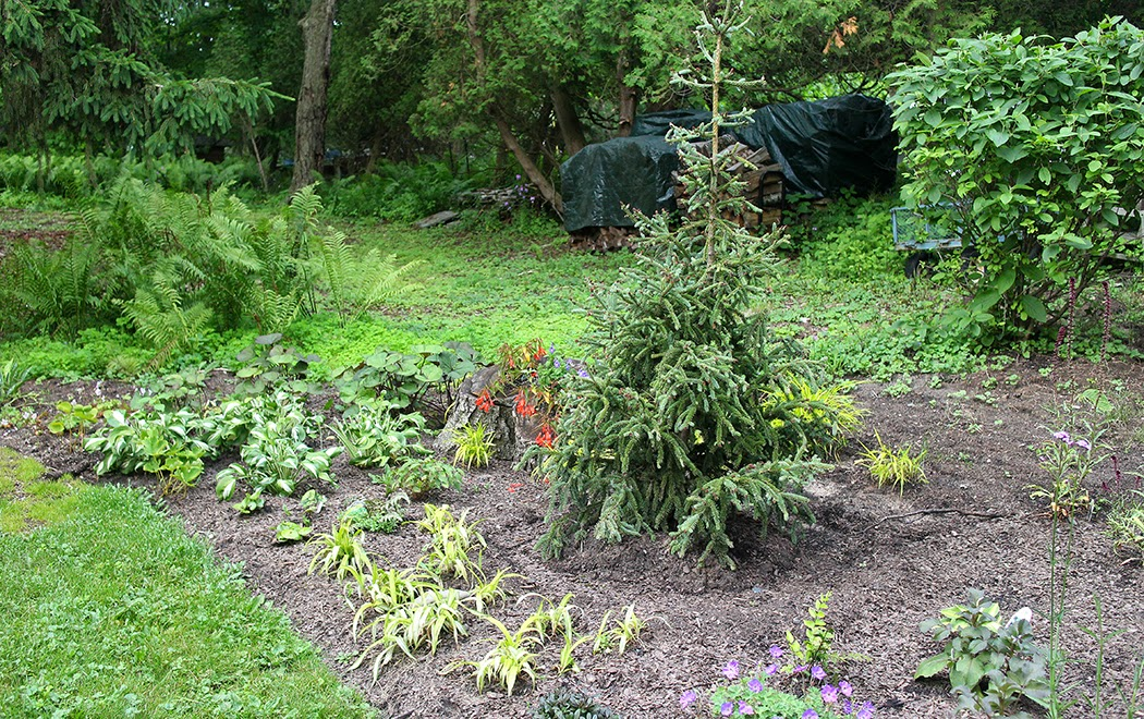 Picea glauca Hudsonii; Redesigned back yard (The Impatient Gardener)
