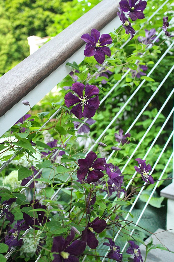 Etoile Violette Clematis: A perennial I wouldn't be without