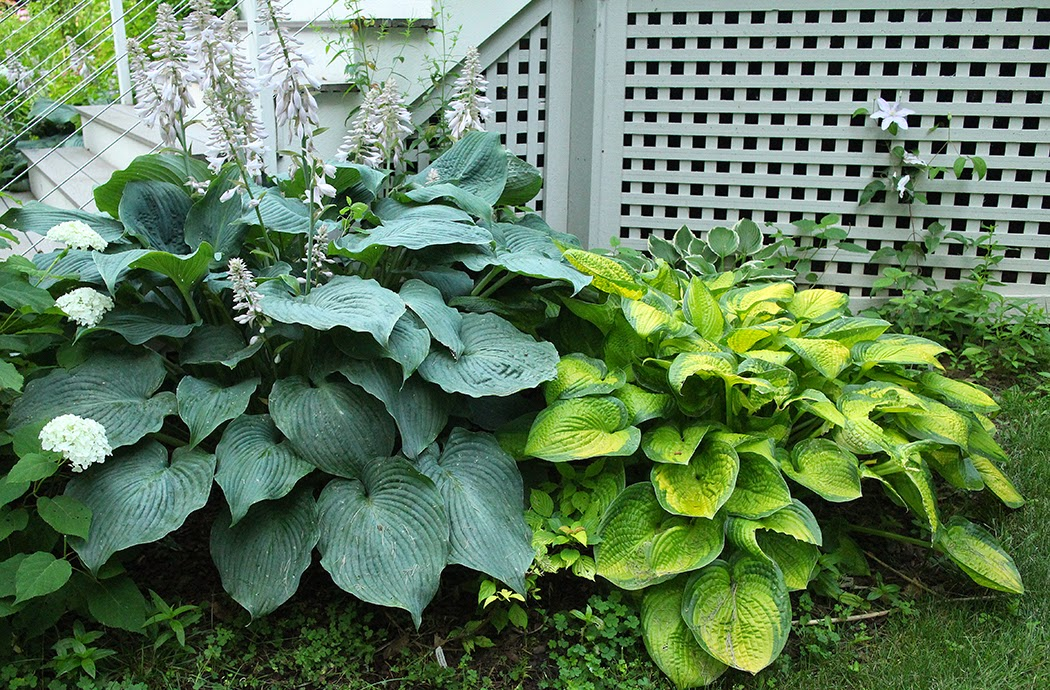 Hosta: A perennial I wouldn't be without