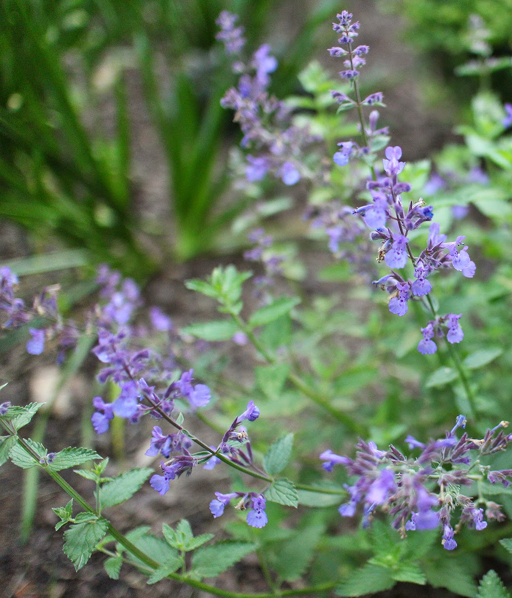 Nepeta: A perennial I wouldn't be without
