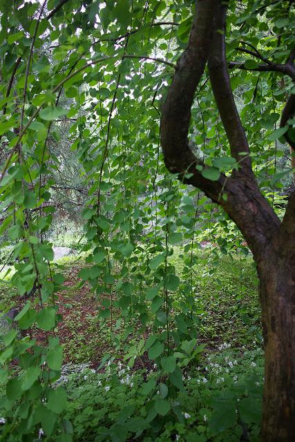 japanese katsura tree