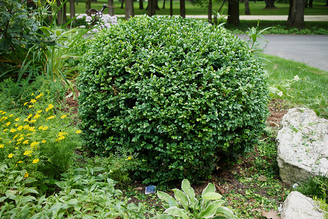 How to prune a meatball boxwood