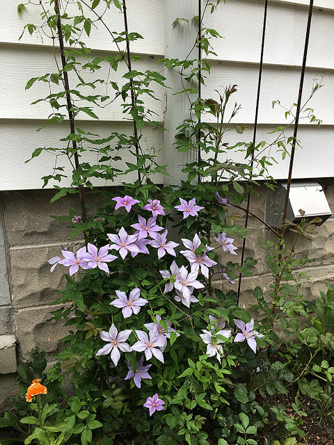 'Sugar Sweet Blue' clematis
