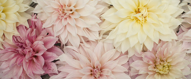 cafe au lait dahlias in various colors