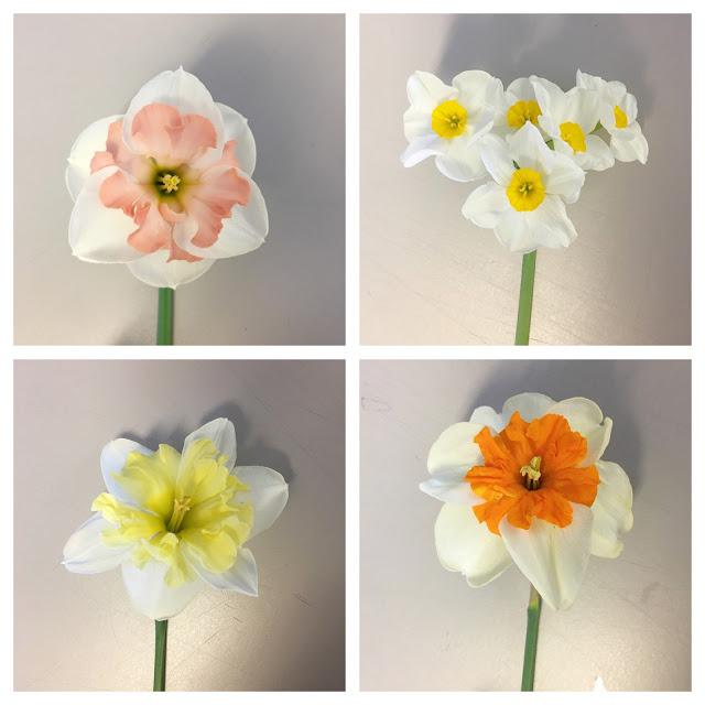 daffodil study