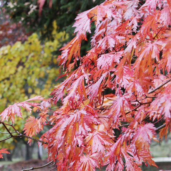 Acer japonicum 'Acontifolium'