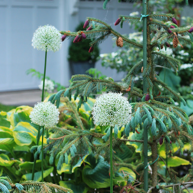 Mount Everest allium is easy to grow and makes a statement the garden.