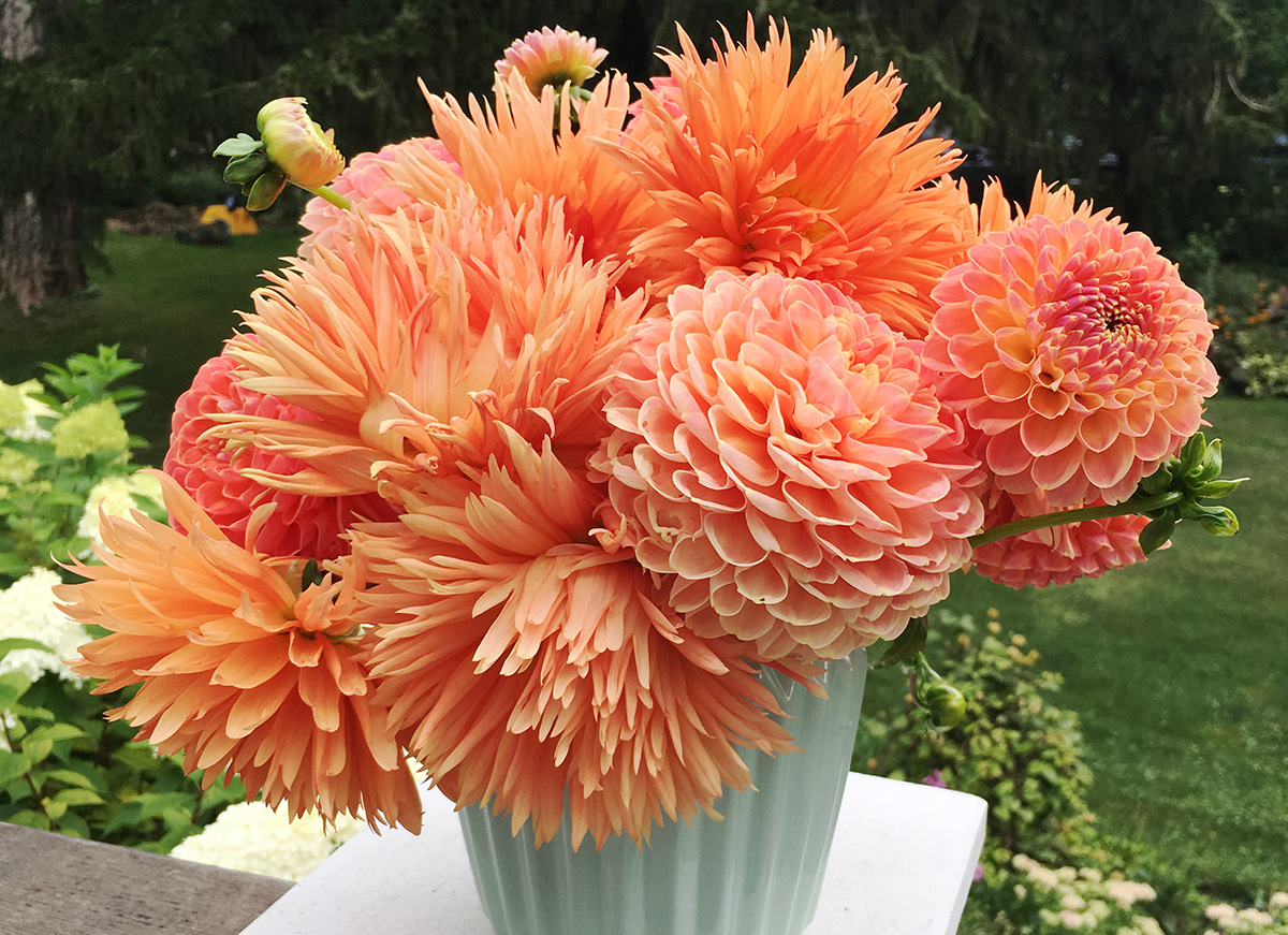 The How To Of Storing Dahlias The Impatient Gardener