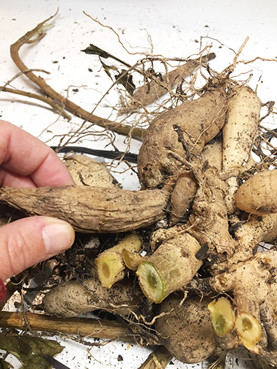 remove soft dahlia tubers for storage