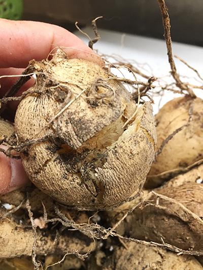 Damaged dahlia tuber