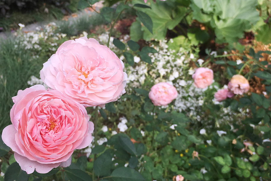 David Austin 'The Alnwick Rose'