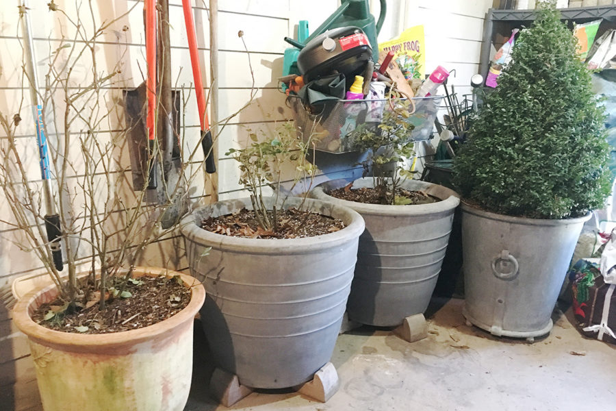 Containerized shrubs wintering in the unheated garage.