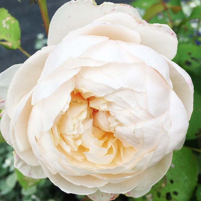 'Windermere' rose
