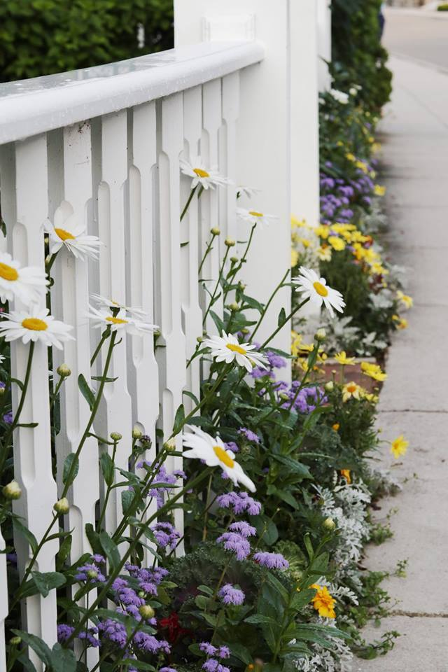 Daisies through the fence