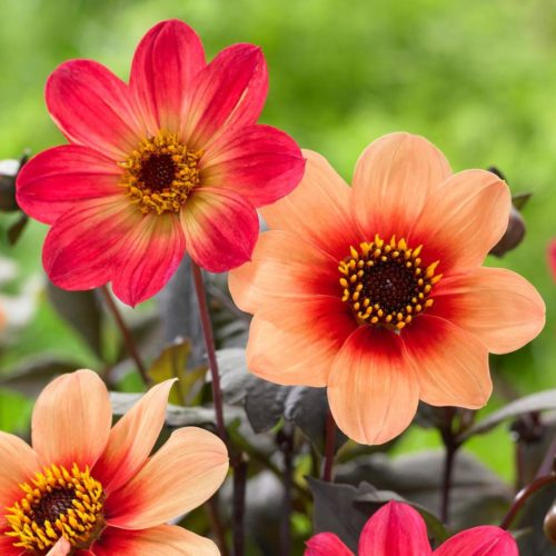 Longfield Gardens 'HS Flame' and 'HS Date' collection