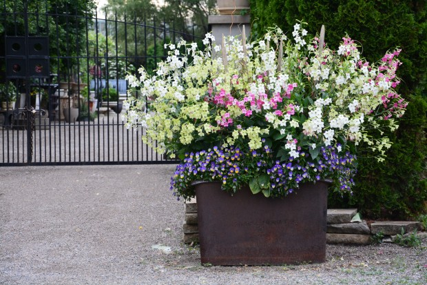 Nicotiana in containers