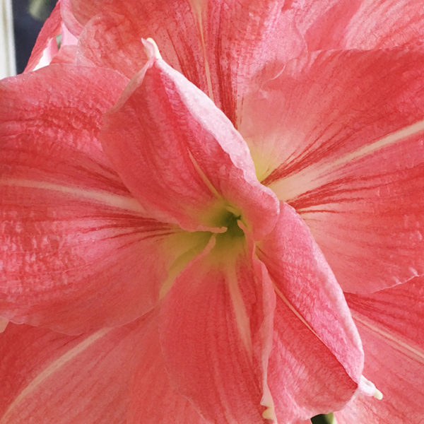 amaryllis bloom feature