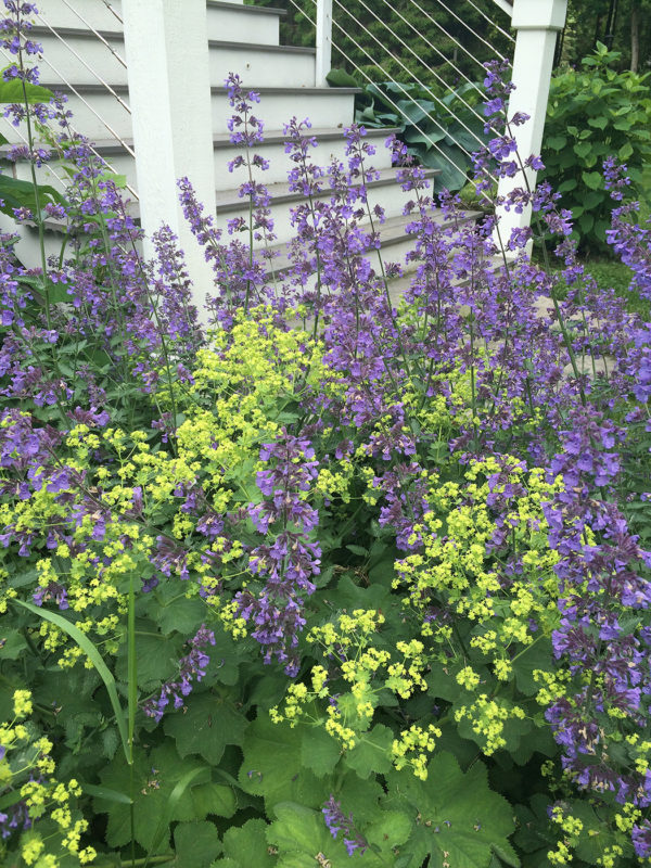 lady's mantle with nepeta