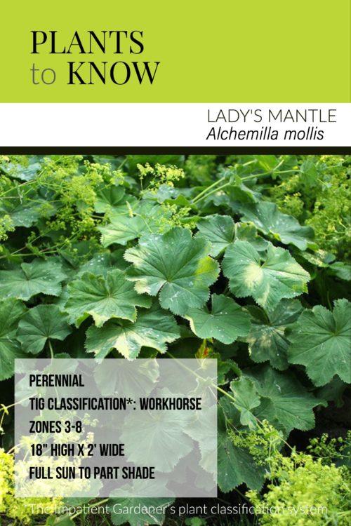 ladys mantle fact sheet