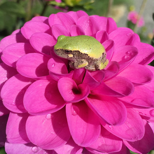 Serkan dahlia with tree frog