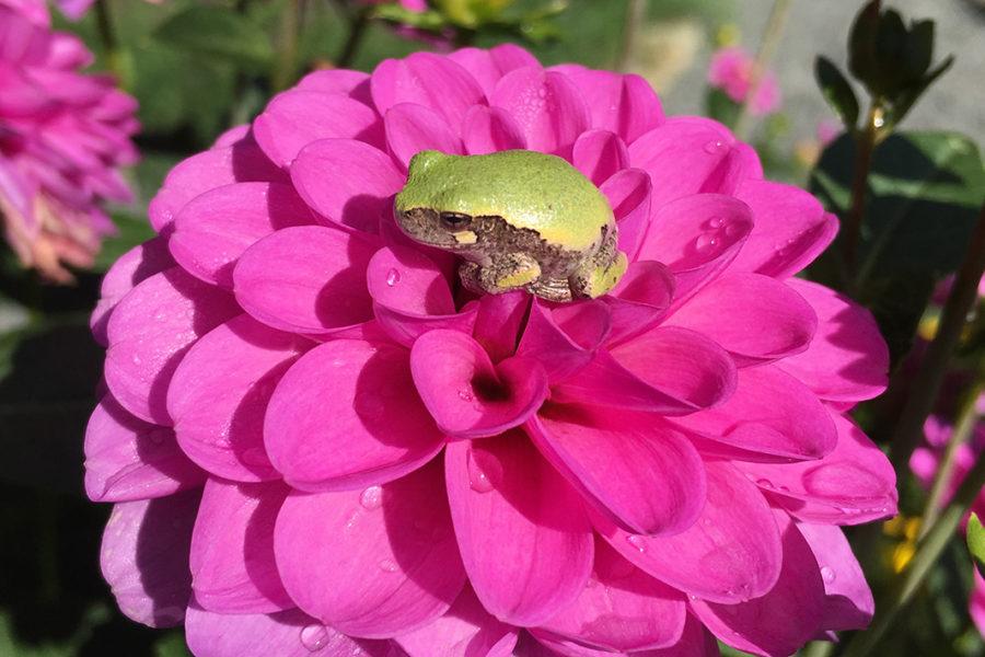Serkan dahlia with tree frog