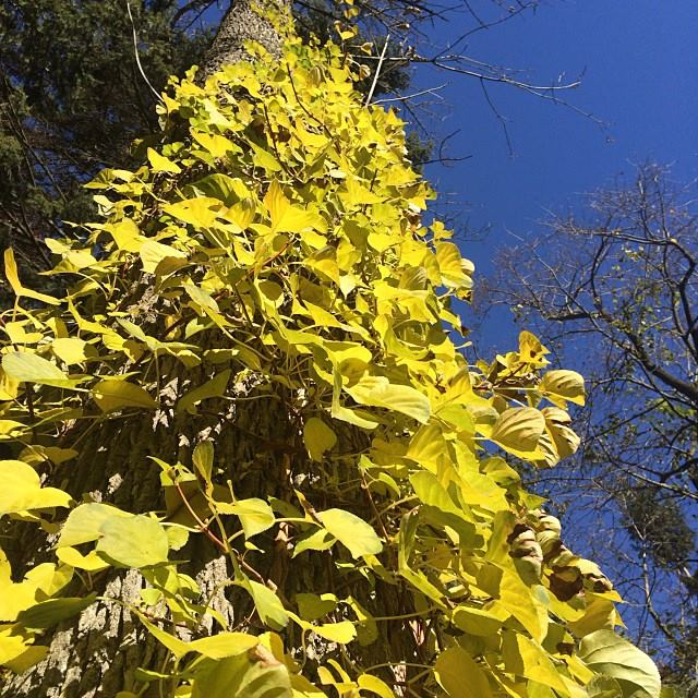 The fall color on climbing hydrangea is stunning.