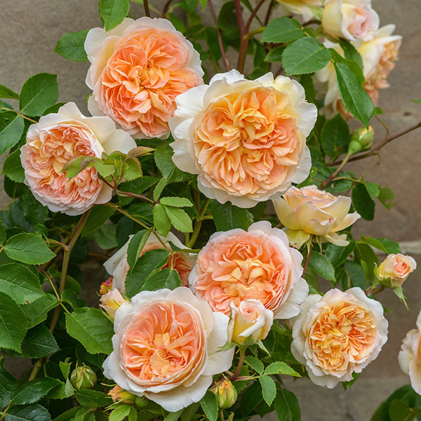 'Bathsheba' climbing rose