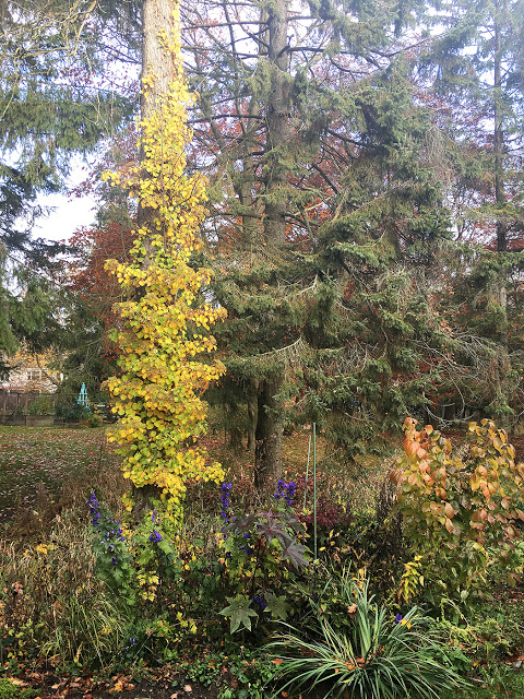 Fall Climbing hydrangea
