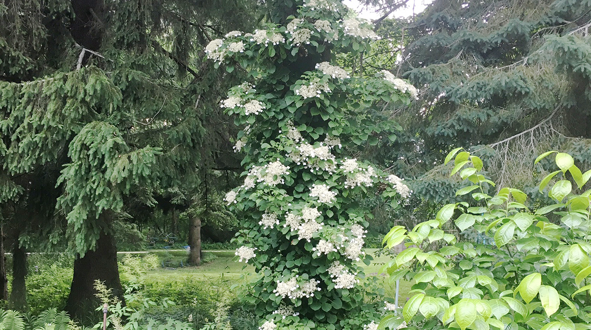 Plant To Know Climbing Hydrangea The Impatient Gardener