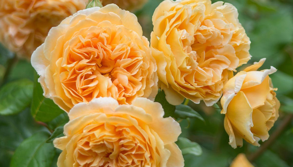 David Austen 'Crown Princess Margareta' rose