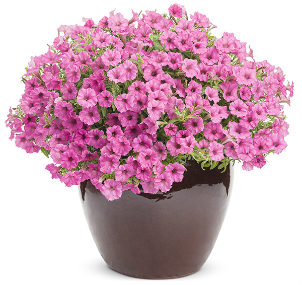 Supertunia Hot Pink Charm