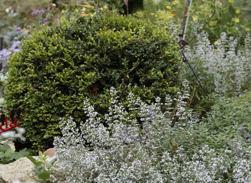 calamintha nepeta montrose white