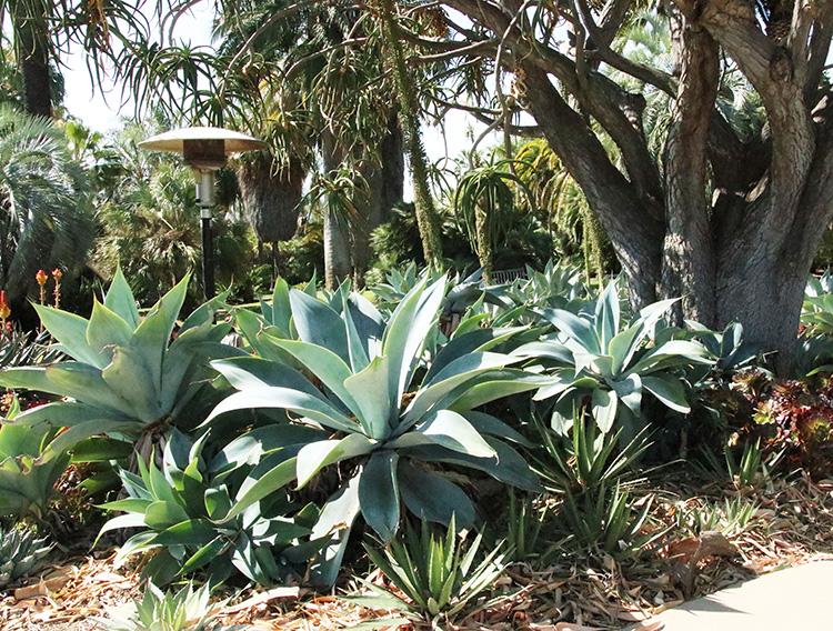 Huntington agave desert garden