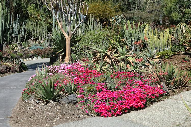 huntington pink desert garden