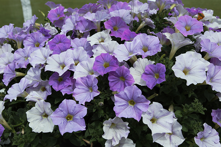 Proven Winners Blue Skies petunia