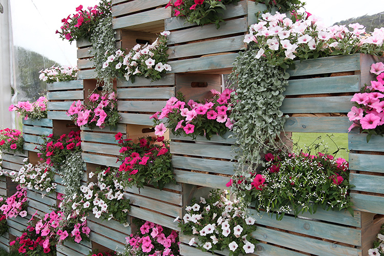 Petunia wall